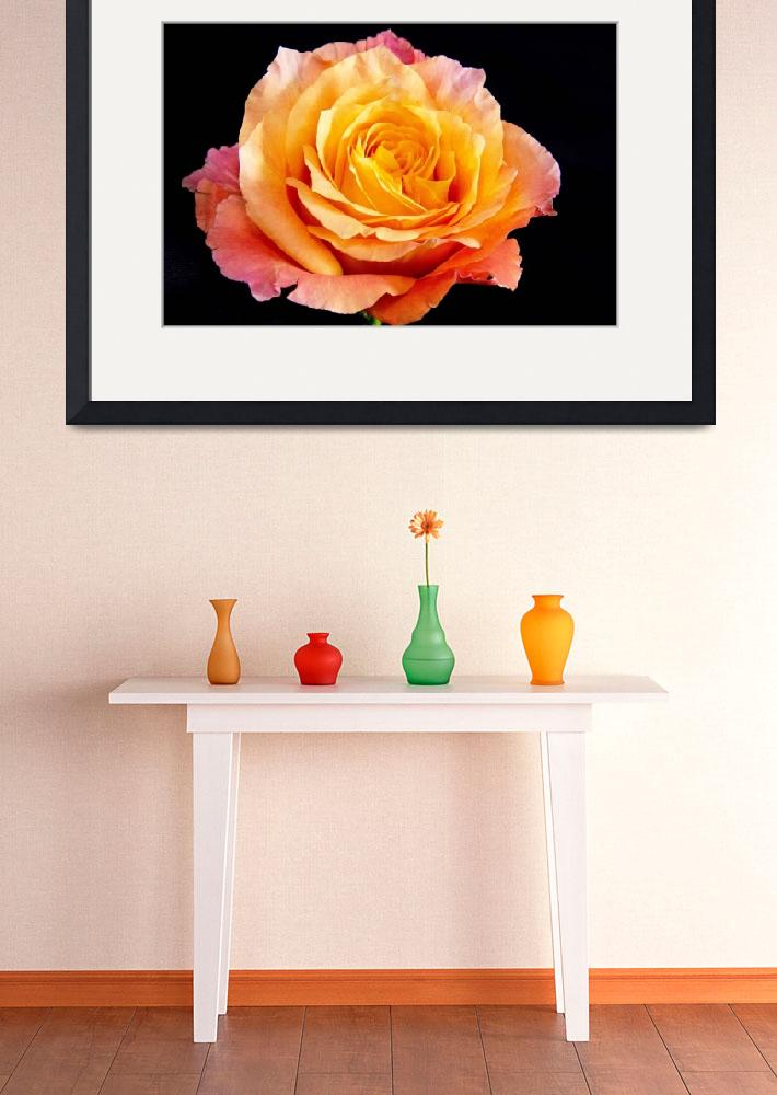 """Enticing Beauty The Orange Rose&quot  (2012) by Daphsam"