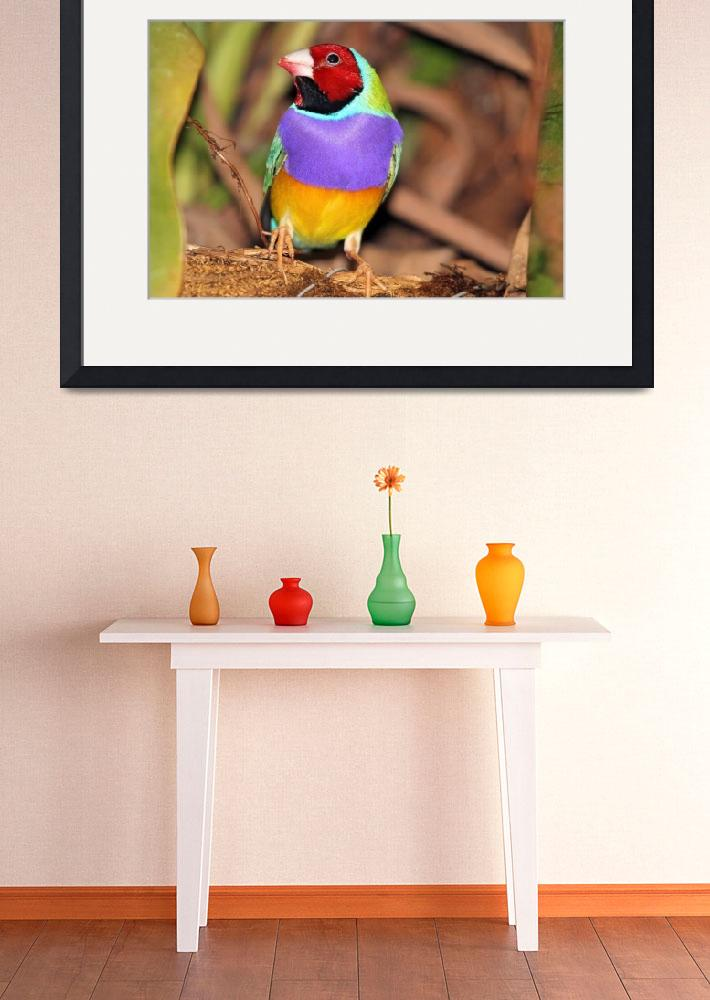 """Gouldian Finch&quot  (2012) by shelshots"