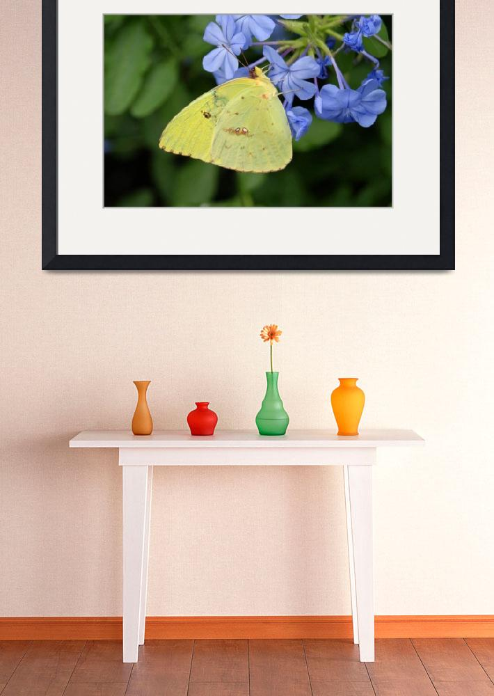 """Clouded Sulphur Butterfly&quot  (2011) by WildAboutNaturePhotography"