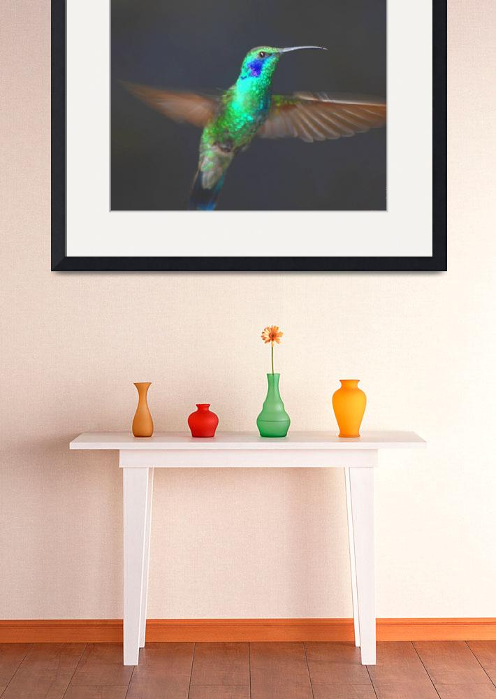 """Green Violet-ear Hummingbird (Colibri thalassinus)&quot  by Nordic"