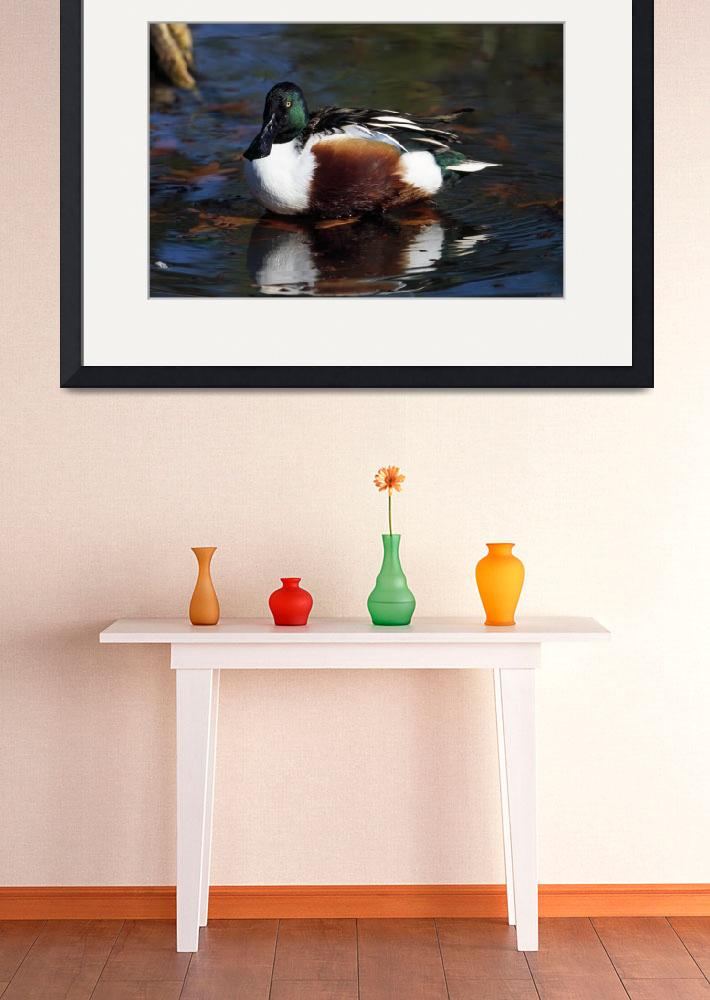 """Northern shoveler duck on water&quot  by Panoramic_Images"