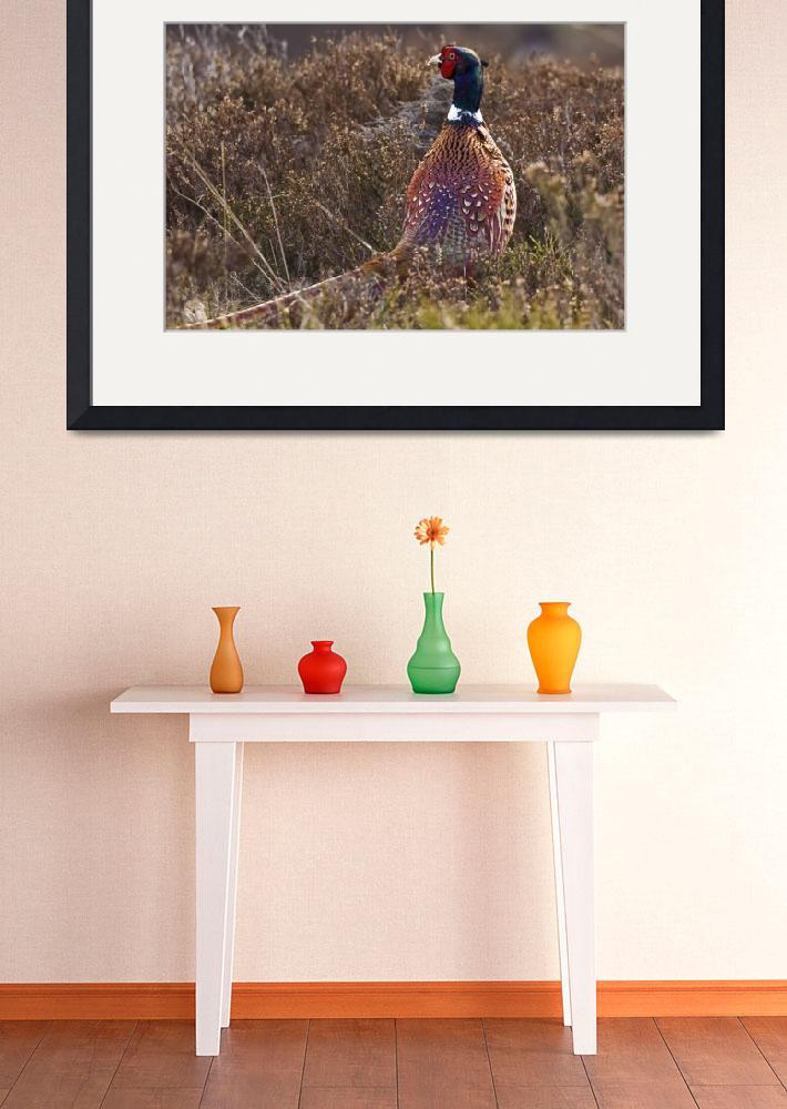 """Pheasant watching between heather in Scottish Upla&quot  (2009) by kingafoto"