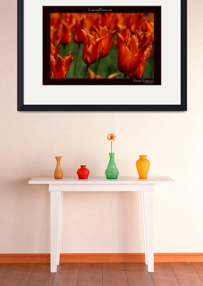"""Orange Tulips in the Netherlandsclose&quot  by ExposedPlanet"