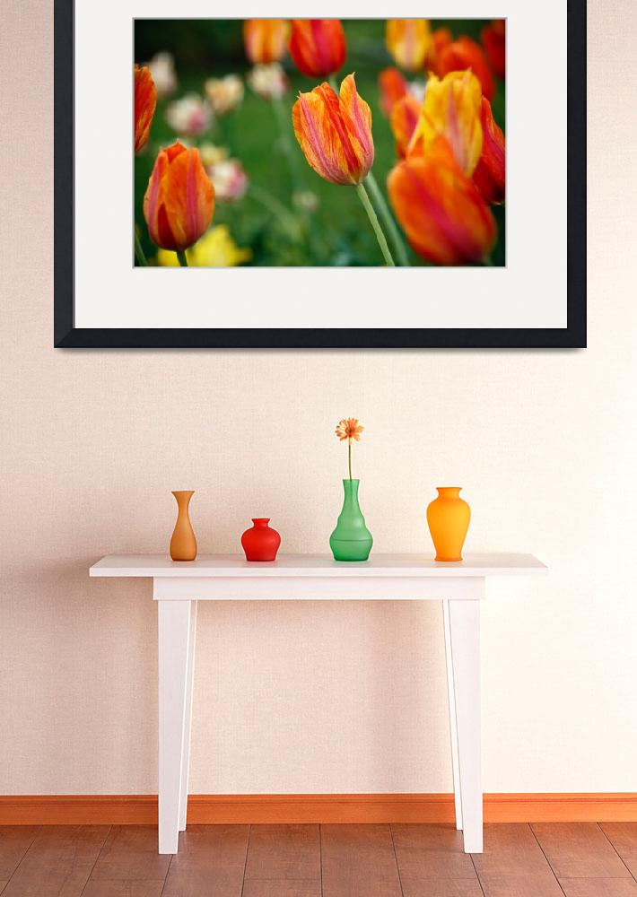 """Orange Tulips, Brooklyn Botanical Garden&quot  (2009) by tomharrisonphotography"