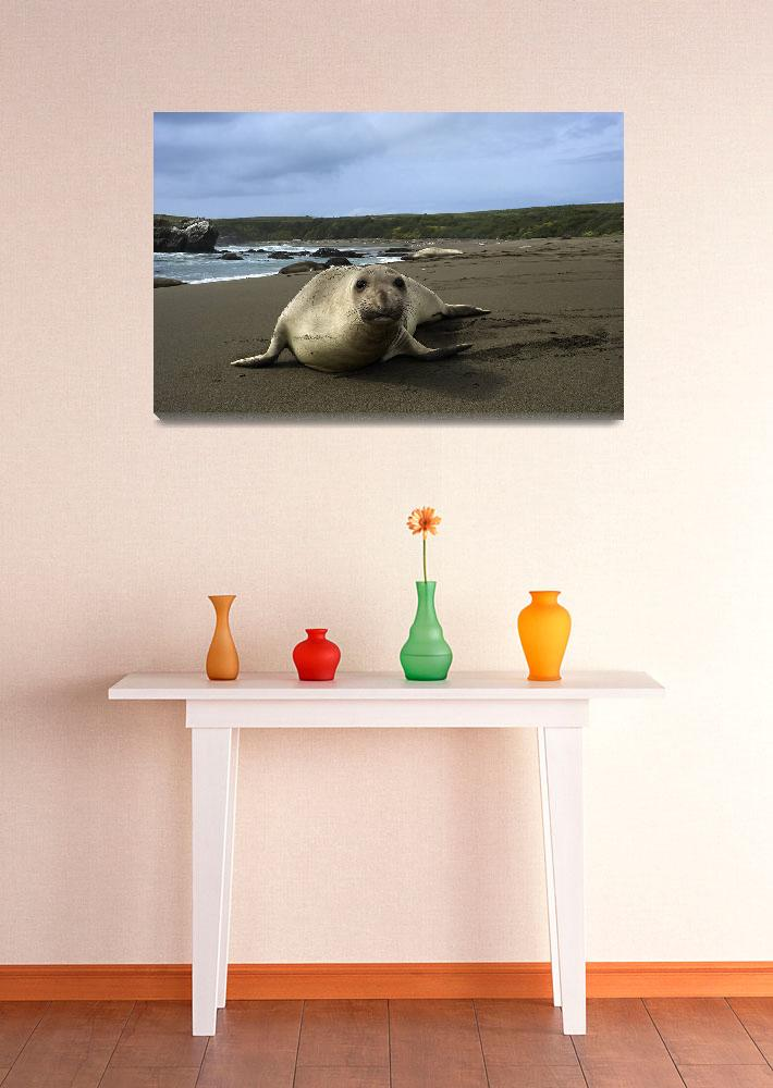 """Female Northern Elephant Seal,  mirounga angustiro&quot  (2010) by eyalna"