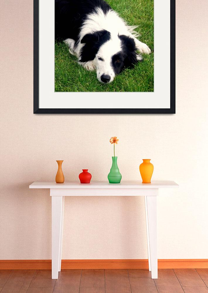 """Border Collie Dog&quot  by mmersdesign"