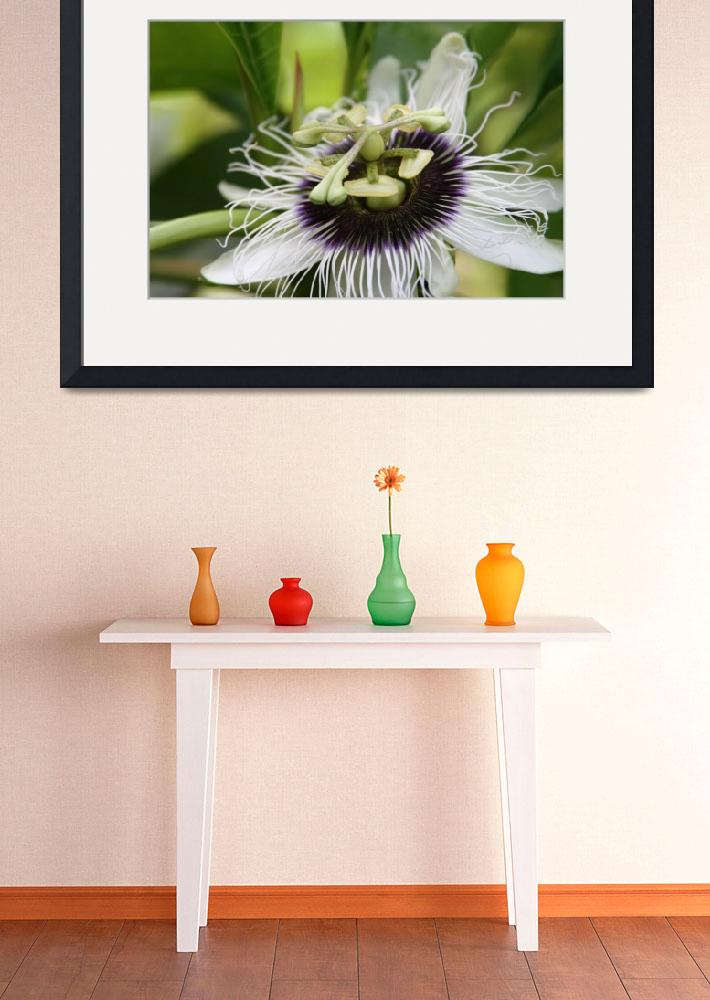 """Lilikoi Passion Flower Passiflora edulis Tropical&quot  (2010) by sharonmau"