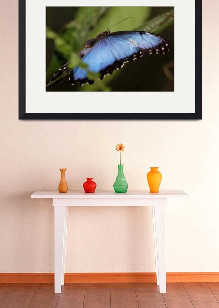 """Blue Morpho IMG0083&quot  (2014) by rayjacque"