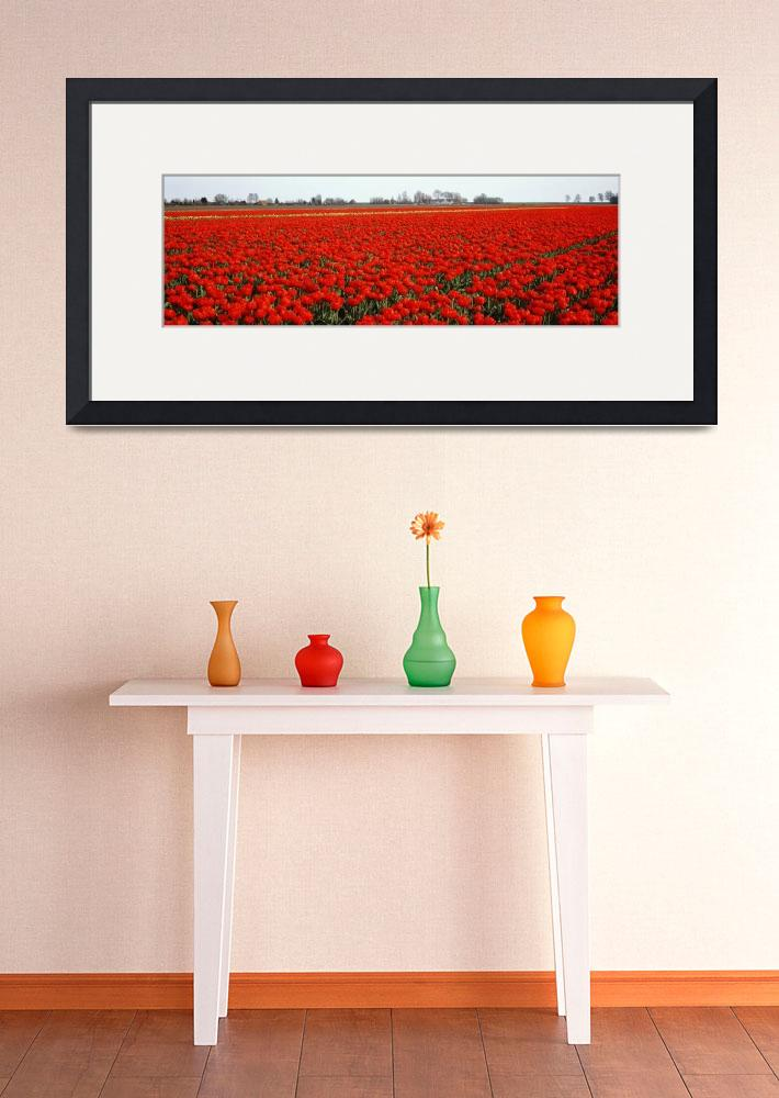 """Red Tulip Field Enkhuizen Holland region Netherla&quot  by Panoramic_Images"