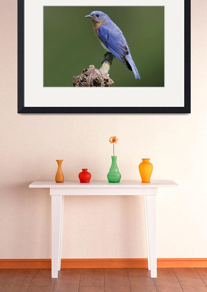 """Eastern Bluebird Photograph&quot  by ArtLoversOnline"