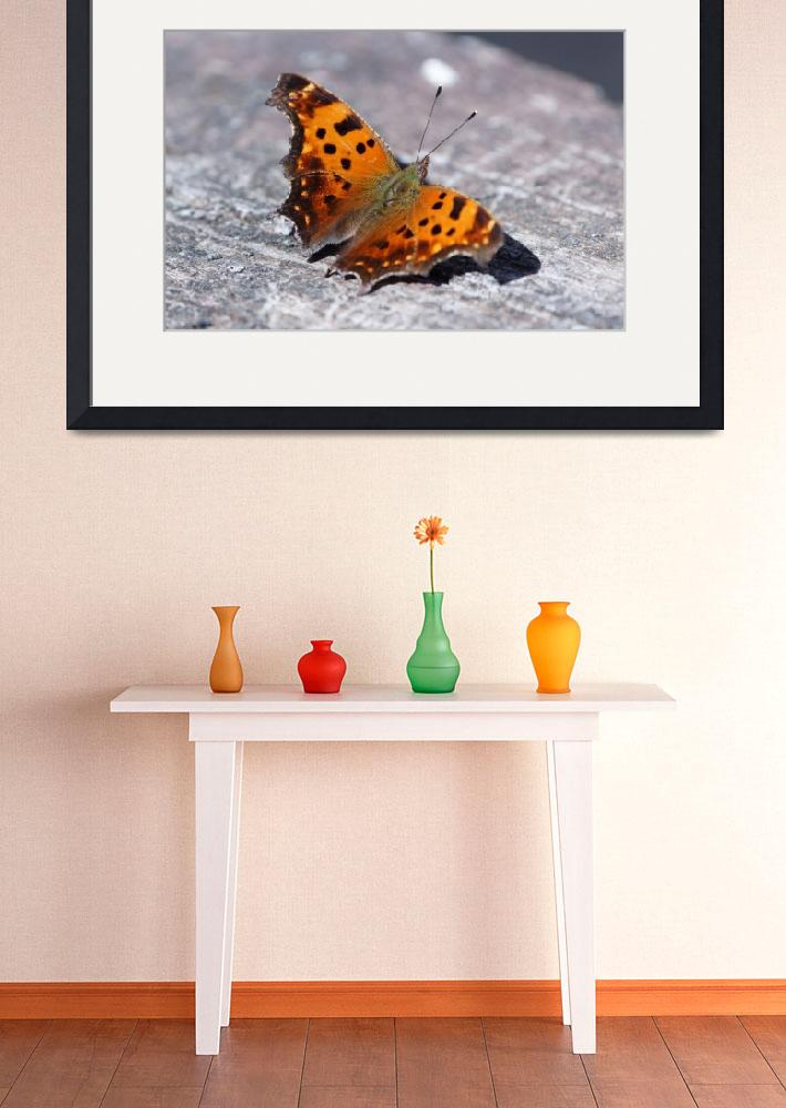 """Eastern Comma Butterfly&quot  by cameragal"