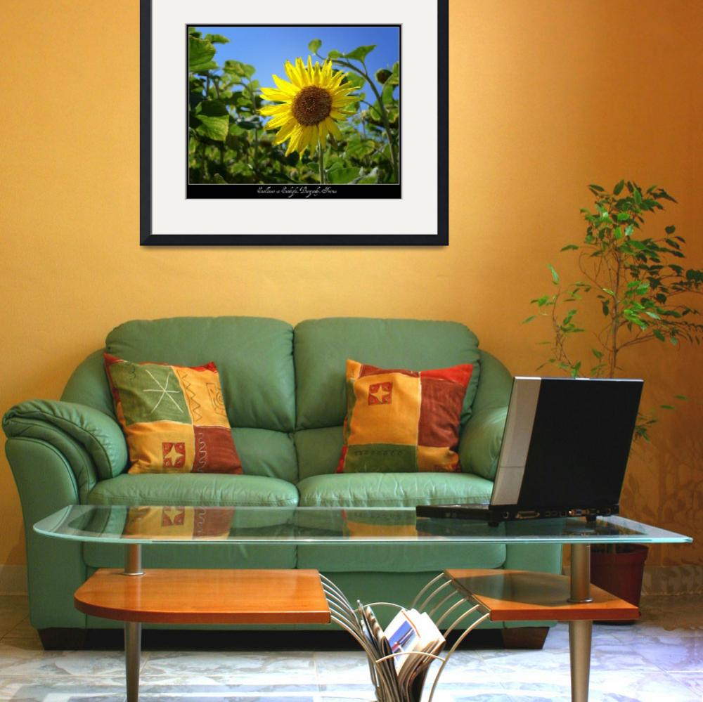 """Sunflower in Sunlight, Burgundy, France&quot  by stefanbungart"
