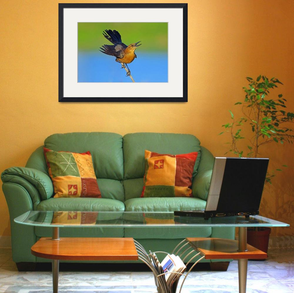 """Boat-tailed Grackle (female)&quot  (2011) by shelshots"