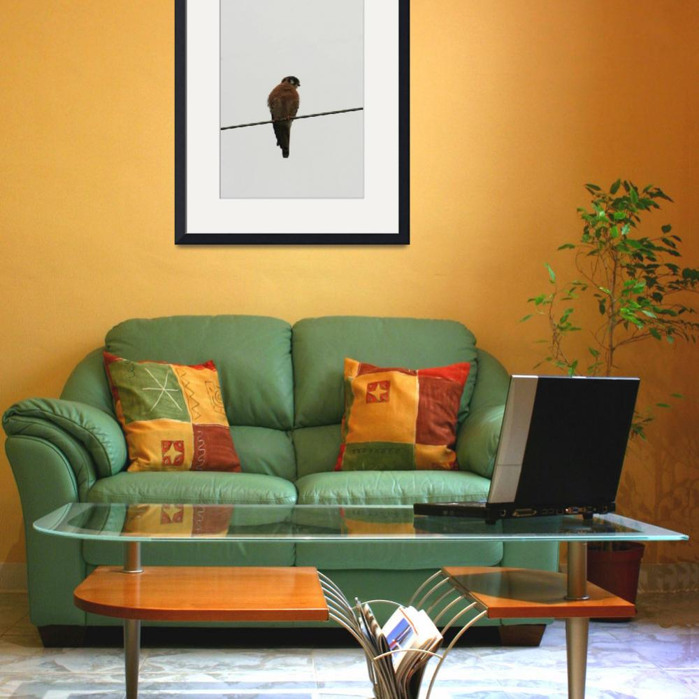 """American Kestrel&quot  (2013) by rhamm"