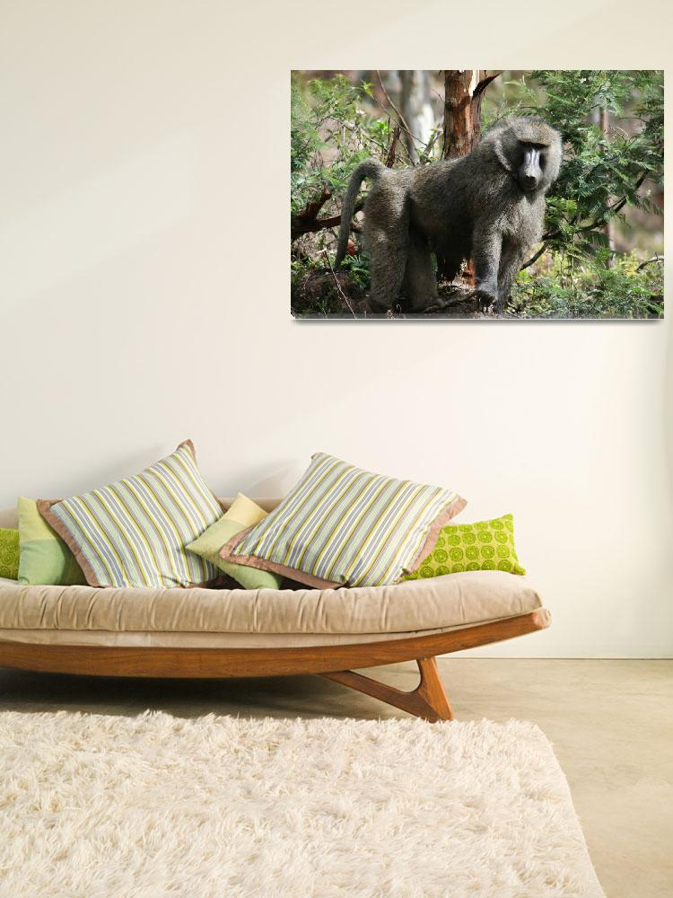 """Baboon in Forest Rwanda&quot  (2007) by CambridgeMedicalMission"
