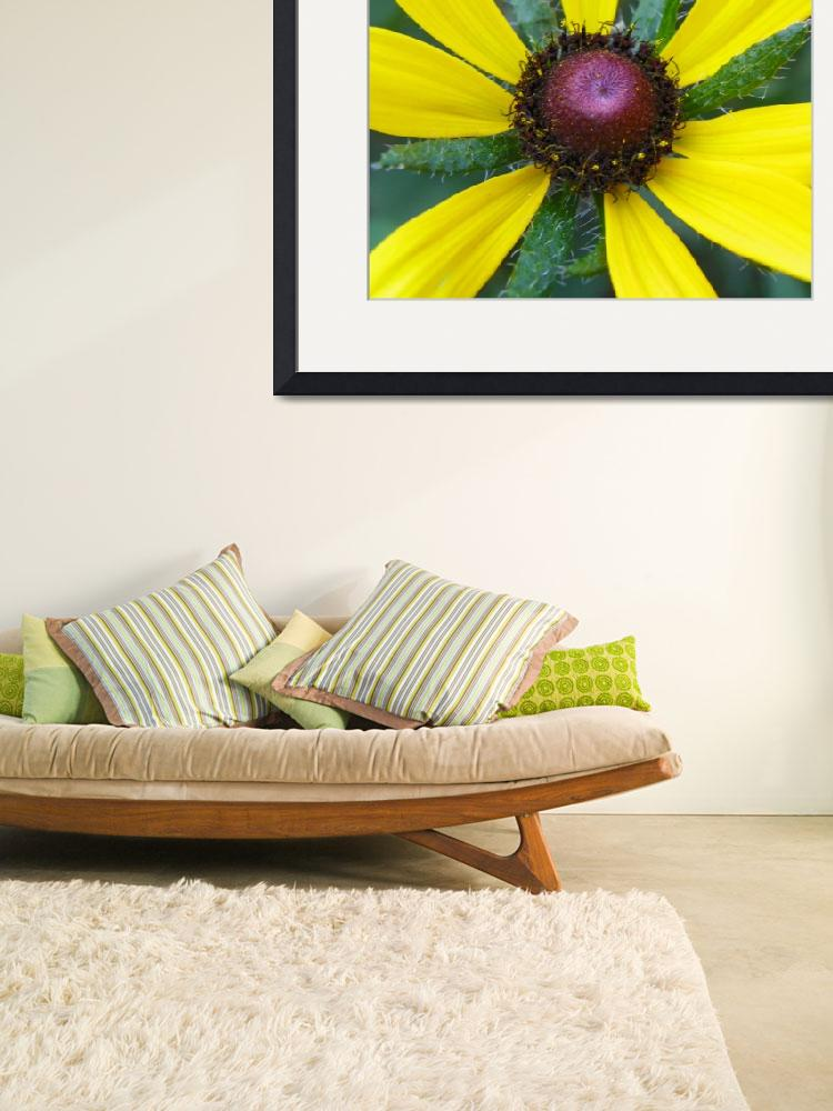 """Rudbeckia Hirta Denver Daisy&quot  (2011) by vpicks"