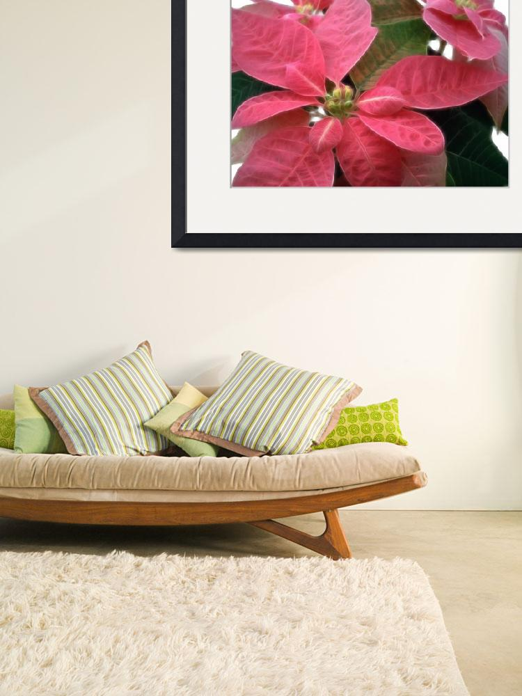 """Pink Poinsettia 3&quot  (2007) by ChristopherInMexico"