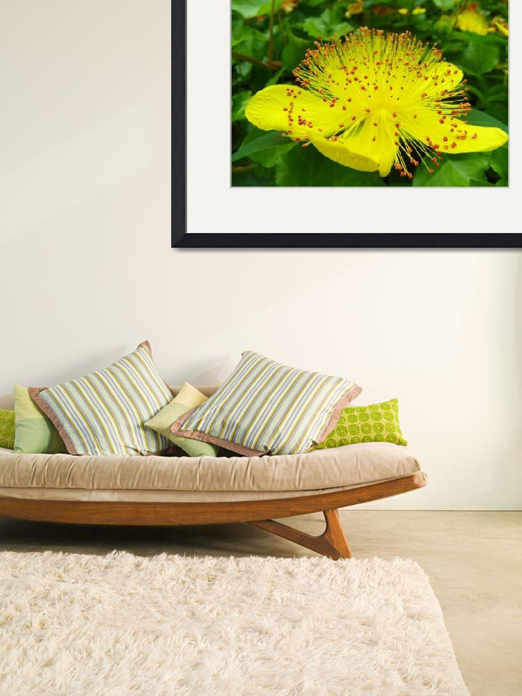"""Shrubby St. Johnswort hypericum prolificum&quot  (2012) by vpicks"