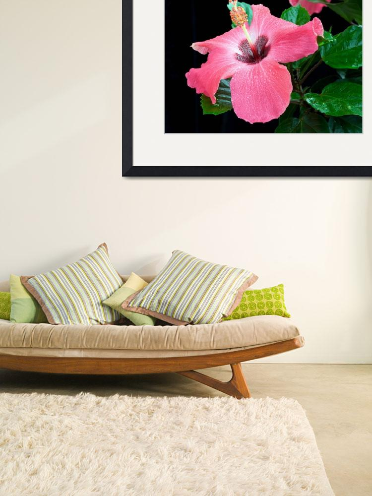 """Pink Hibiscus&quot  (2010) by ImageArt-Photography"