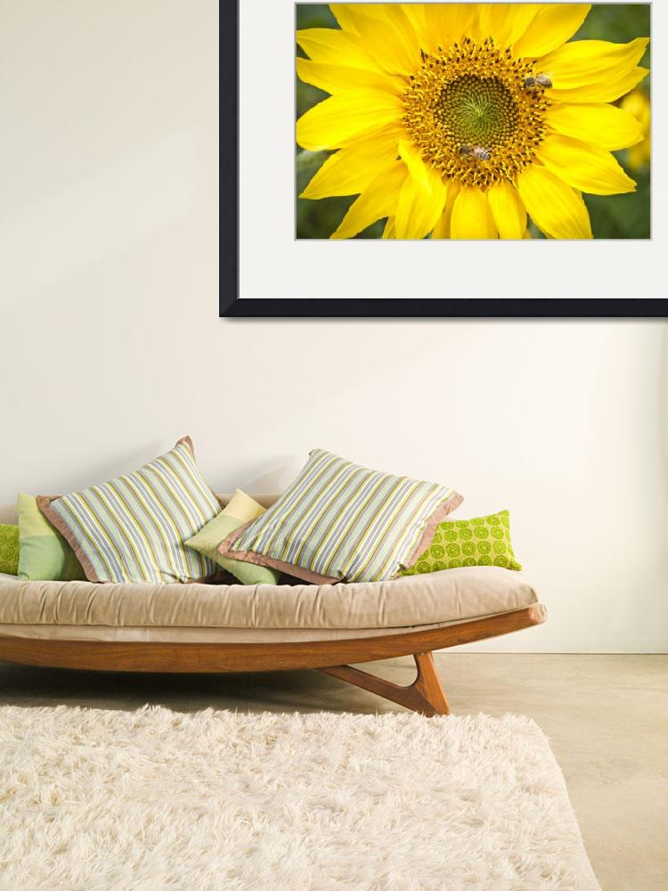 """Carolina Sunflower&quot  (2012) by adifferenteyephotography"