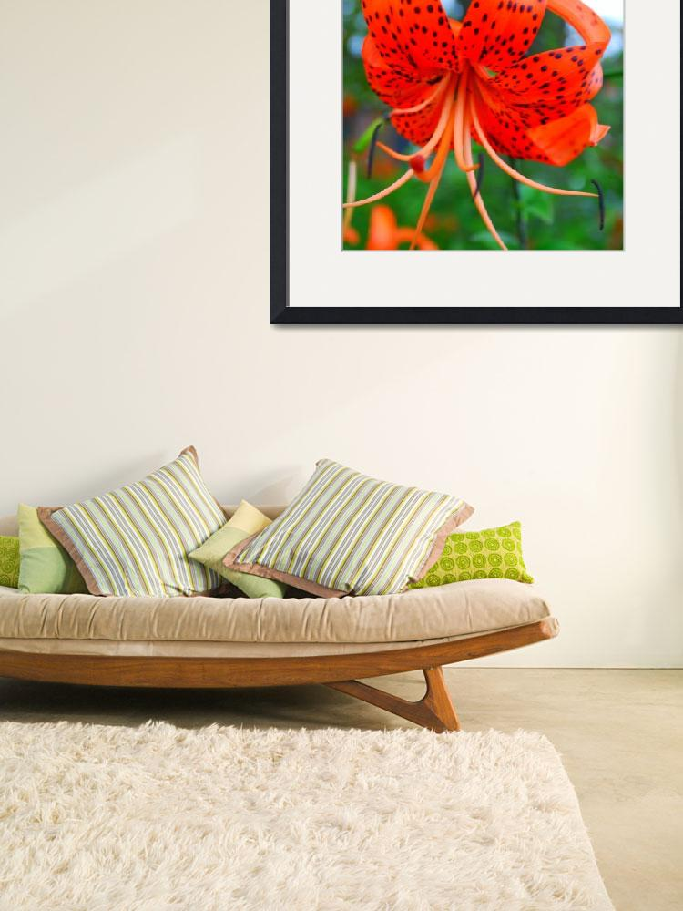 """orange asiatic lily 2&quot  by annschl"
