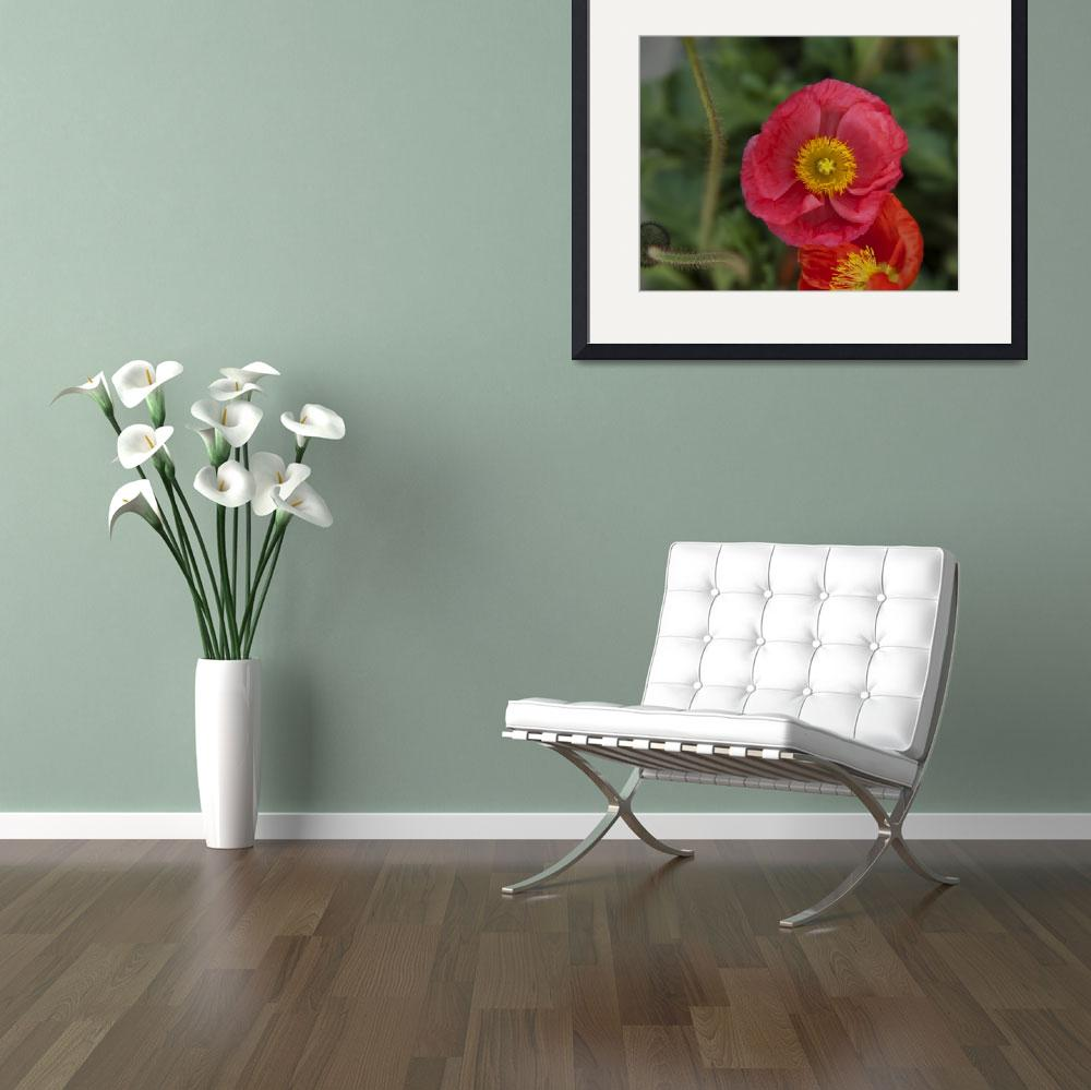 """Little pink Iceland Poppy flower photography&quot  (2014) by SammyPhoto"