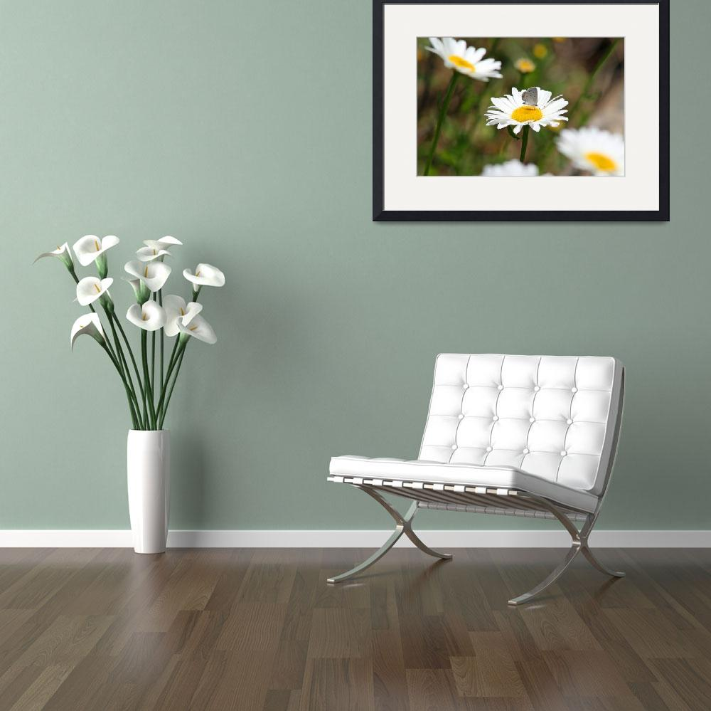 """Butterfly Eastern-Tailed Blue on Daisy&quot  (2012) by KsWorldArt"