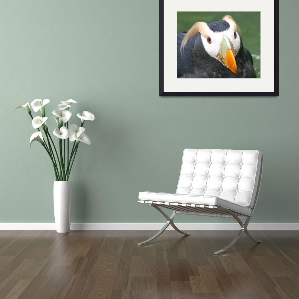 """Point Defiance Tufted Puffin&quot  by MarkWells"