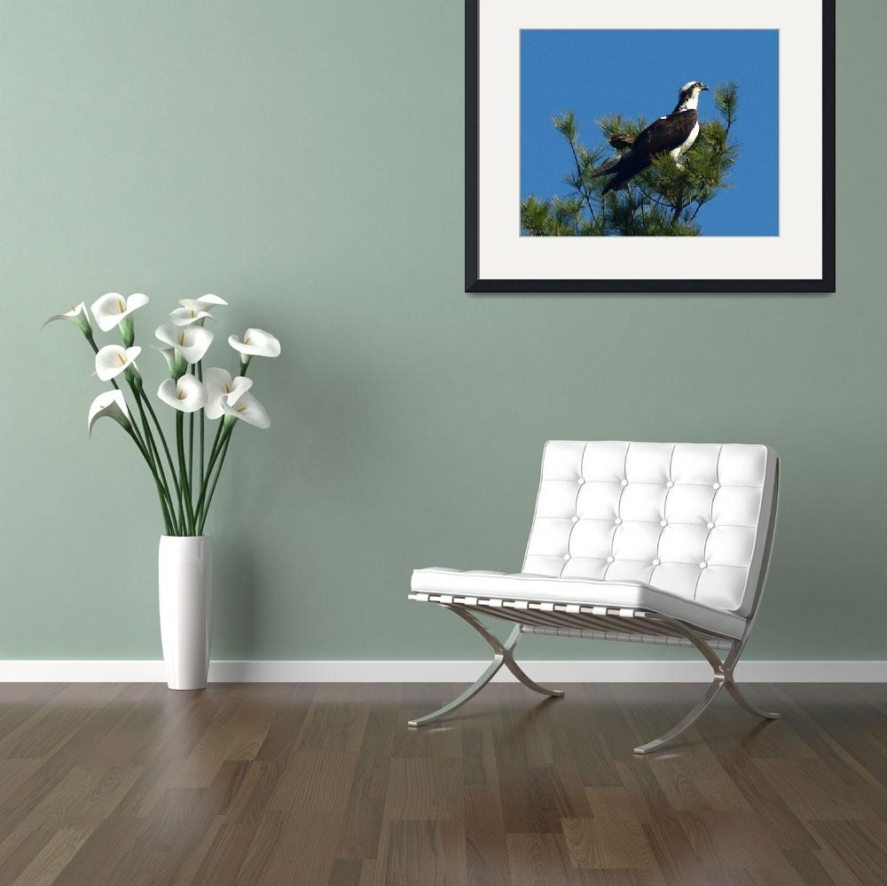 """Osprey On Pine Tree Top&quot  (2010) by bavosiphotoart"