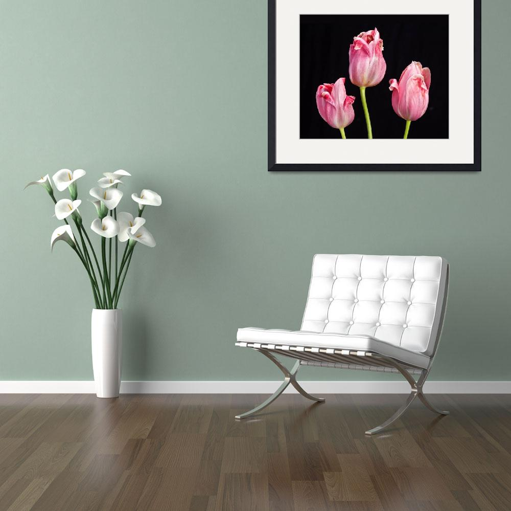 """Three Pink Tulips On Black&quot  (2015) by lightningman"