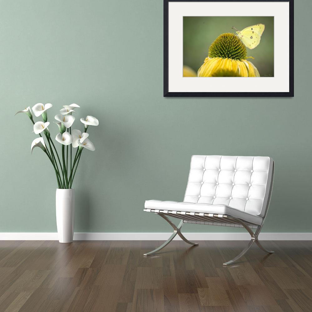 """Clouded Sulphur Butterfly&quot  (2014) by WildAboutNaturePhotography"