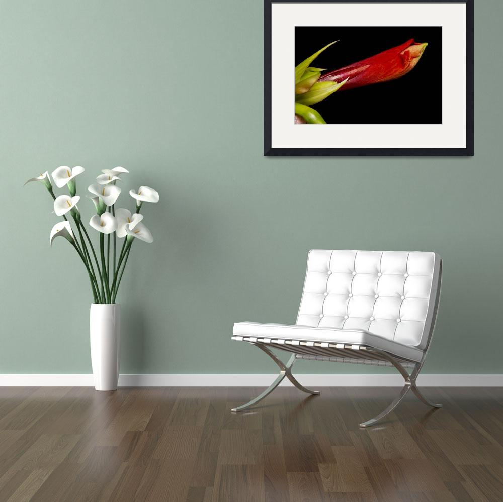 """Colorful Amaryllis Bloom&quot  (2011) by lightningman"