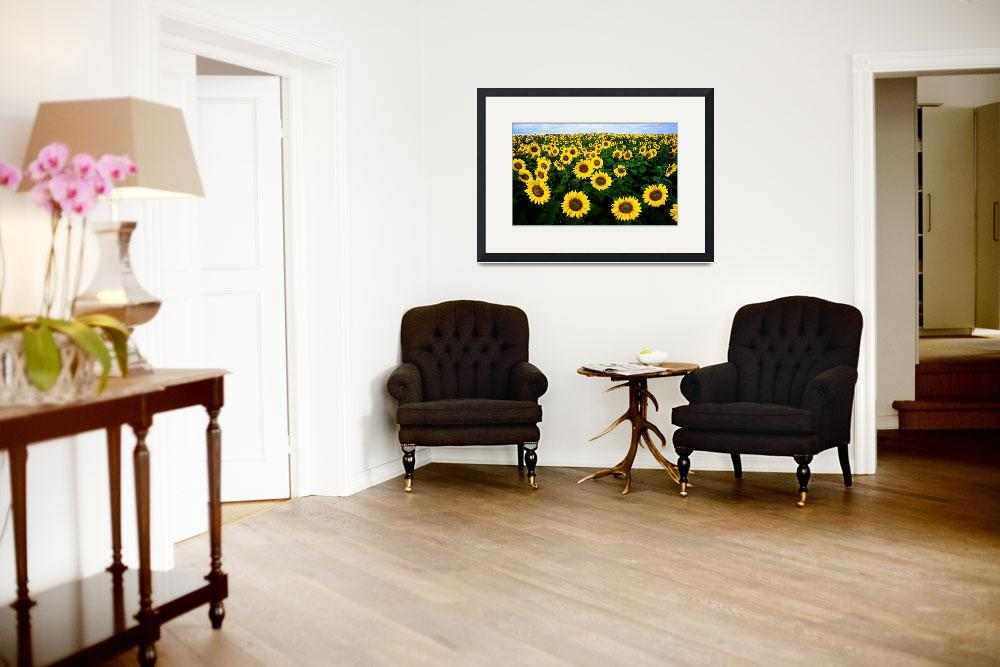 """Sunflower Field&quot  (2011) by ianjeffrey"