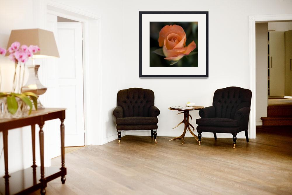"""Sunday Morning Rose 1&quot  (2008) by DHPhotography"