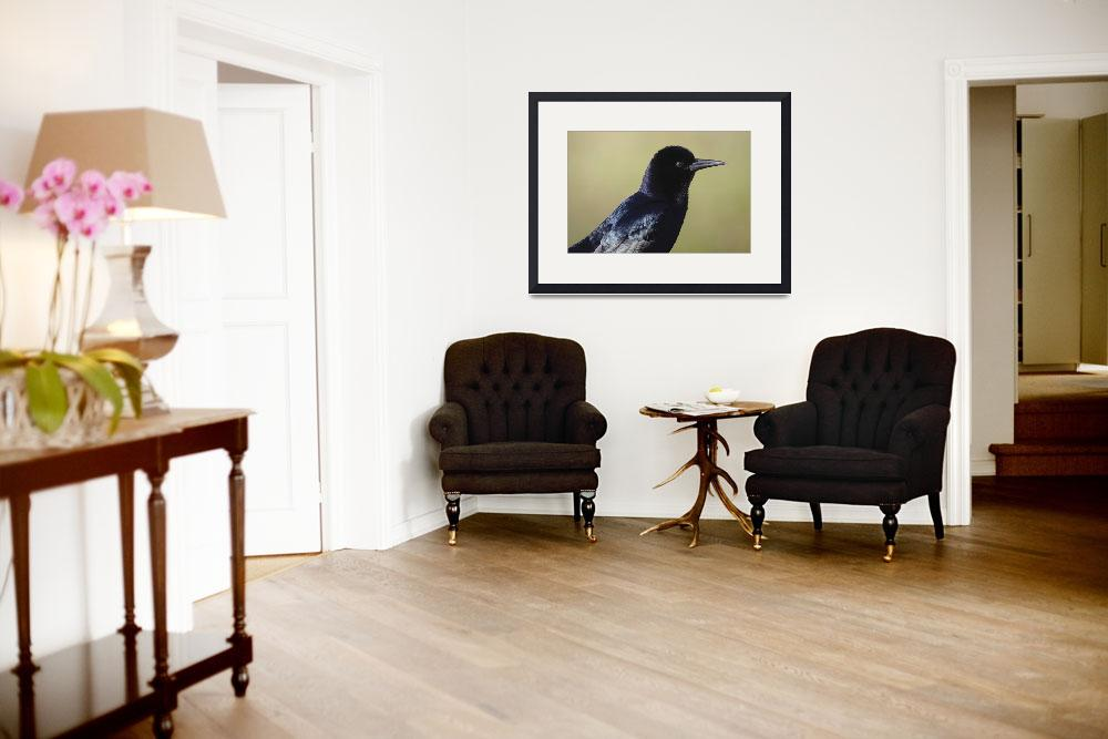 """Boat-Tailed Grackle Photograph&quot  by ArtLoversOnline"