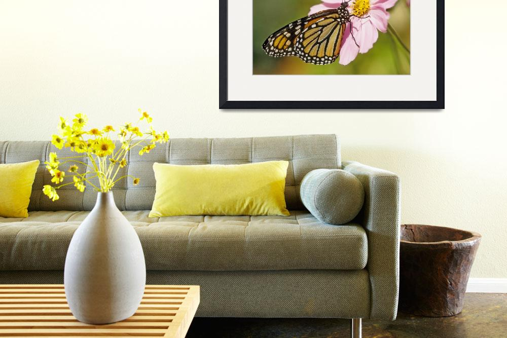 """Monarch Butterfly on Cosmos&quot  by kphotos"