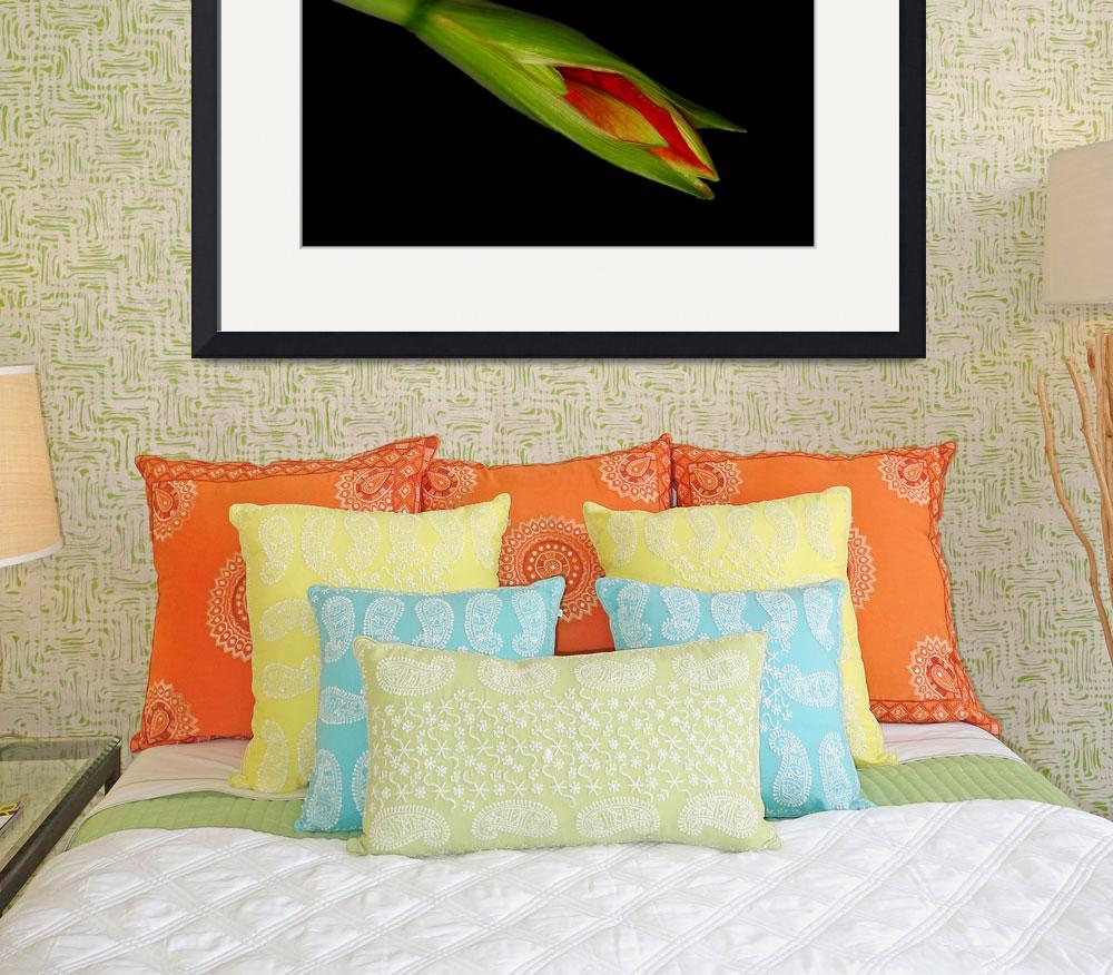 """Orange Amaryllis Hippeastrum Starting to Bloom&quot  (2010) by lightningman"