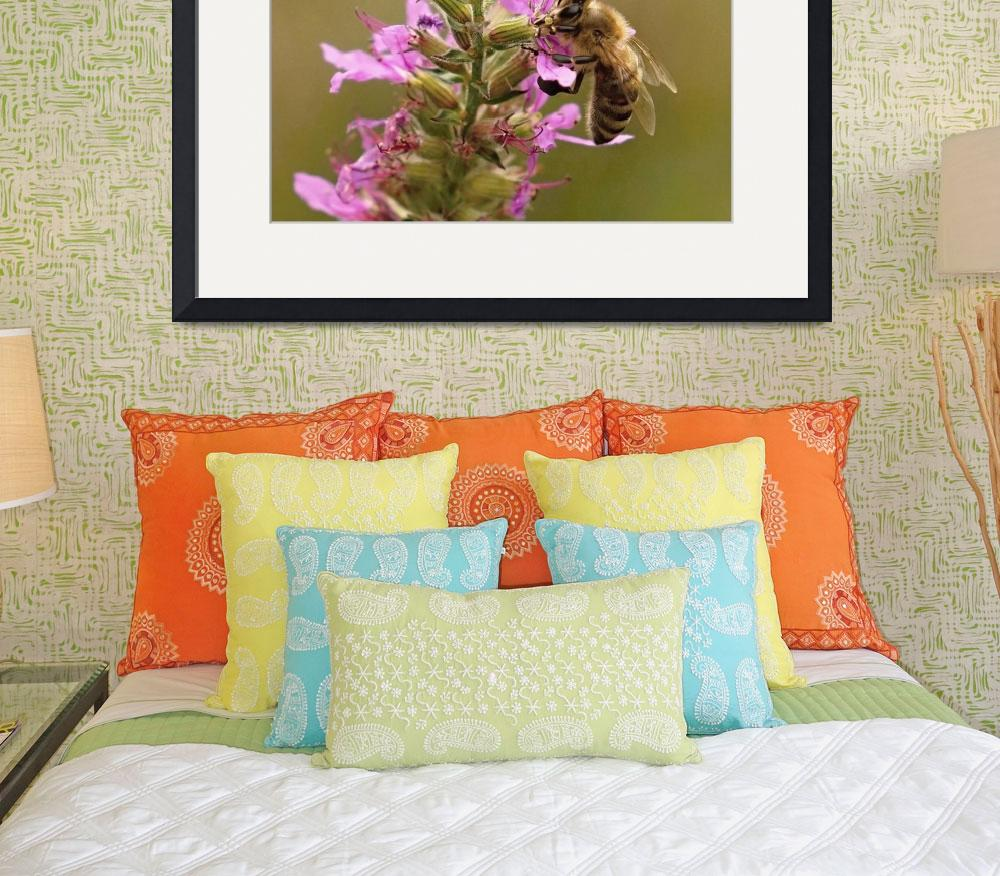 """Honey Bee On Purple Loosestrife&quot  (2012) by bavosiphotoart"