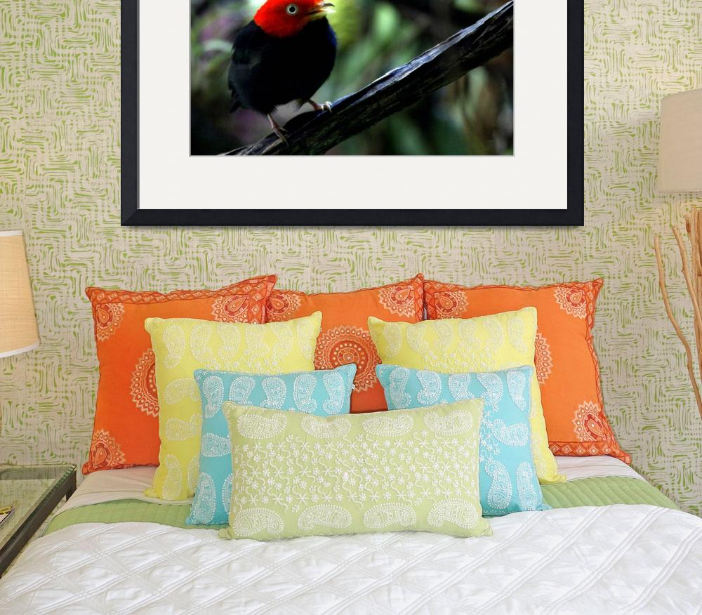 """Red capped Manakin&quot  by AnimalsbyDiDi"