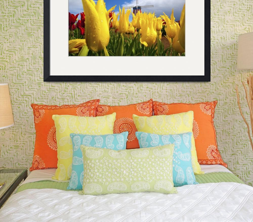 """Tulips In A Field And A Windmill At Wooden Shoe Tu&quot  by DesignPics"