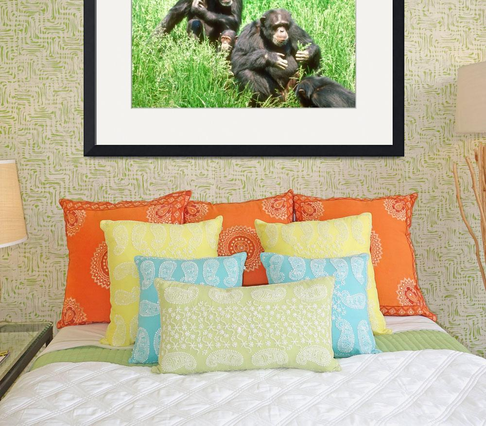 """Endangered Chimpanzees with Infant Eating Grass&quot  by ArtLoversOnline"