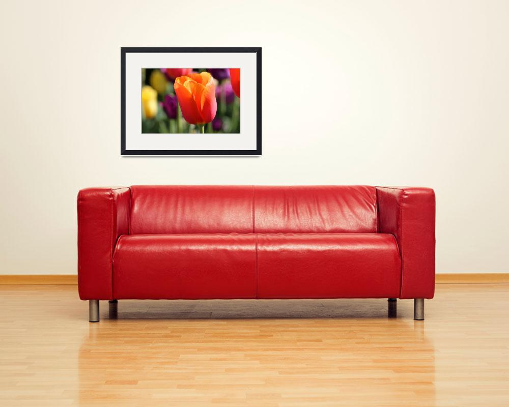"""Orange Tulip at Franklin Park&quot  (2016) by KsWorldArt"