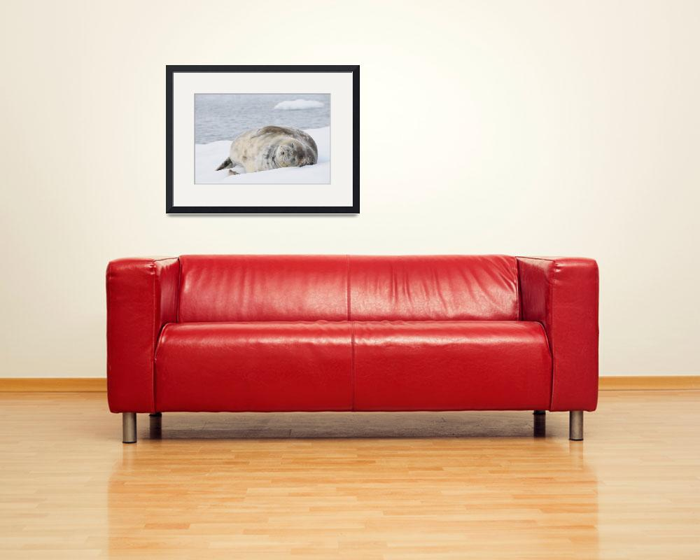 """Weddell Seal Dreaming&quot  (2009) by vanessaharris"