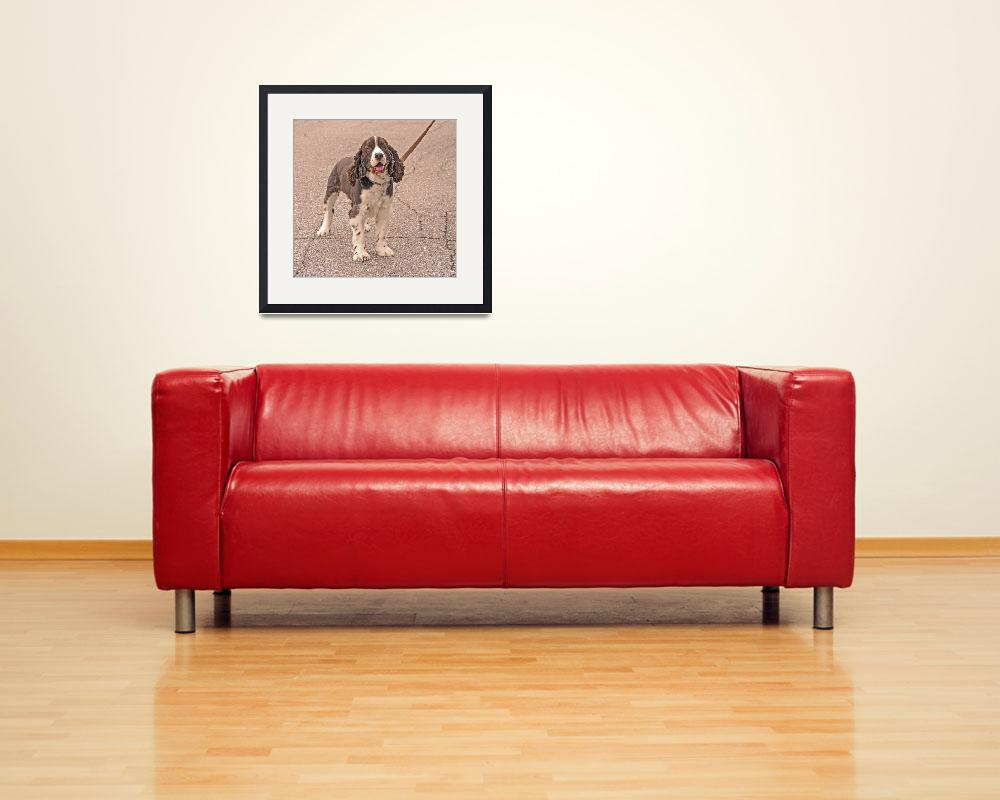 """Springer Spaniel Pet&quot  (2009) by kphotos"