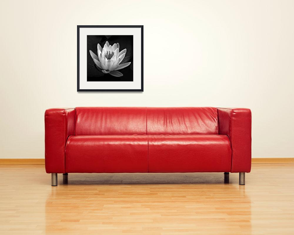 """Water Lily In Black And White ll&quot  (2010) by bavosiphotoart"