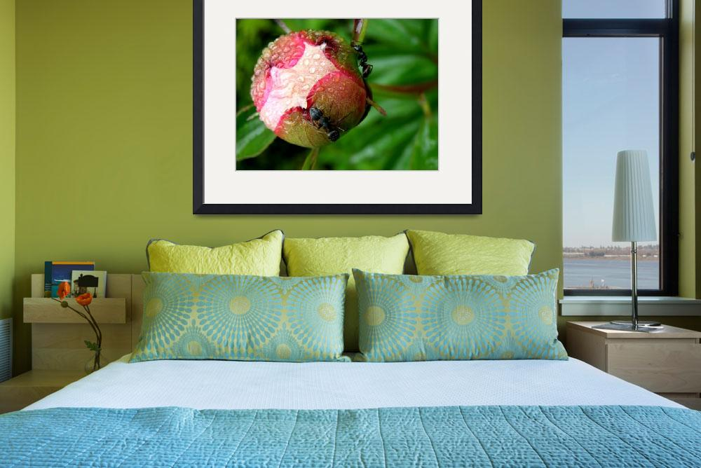 """Peony with Ants&quot  (2008) by steveallatphoto"