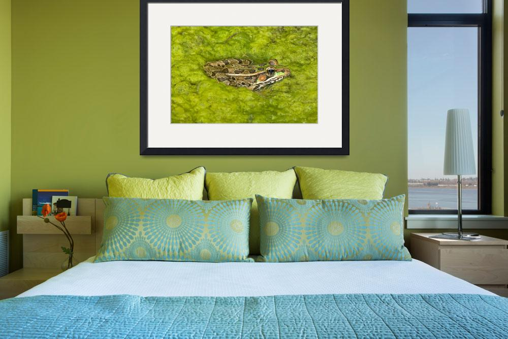 """A Rio Grande Leopard Frog Sitting On A Bed Of Alga&quot  by DesignPics"