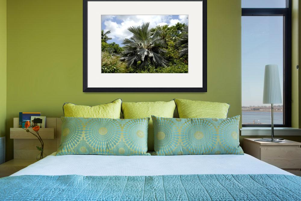 """Cayman Islands Plant Life : Silver Thatch&quot  by RonScott"