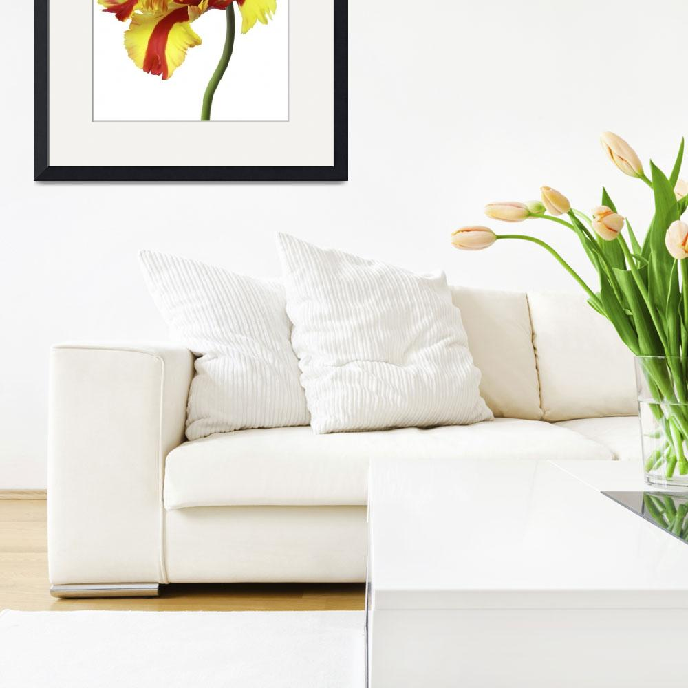 """red and yellow parrott tulip on white&quot  by Morganhowarth"