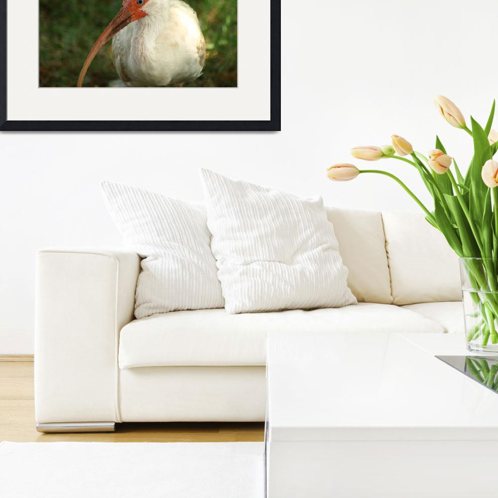 """White Ibis&quot  by EMNPhotography"
